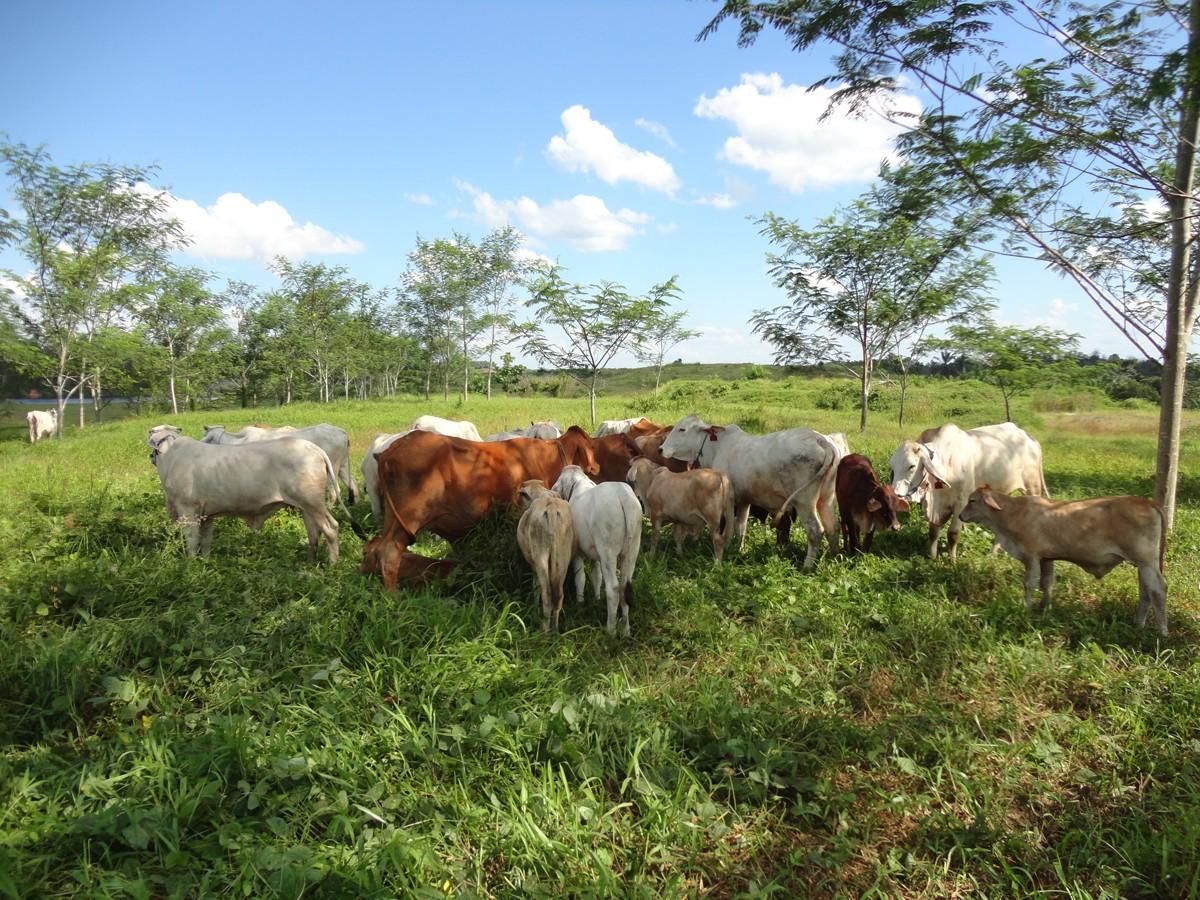 Cattle grazing on a hill in East Kalimantan