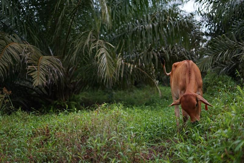 Palm Plantation of PT. Buana Karya Bhakti (BKB) in South Kalimantan
